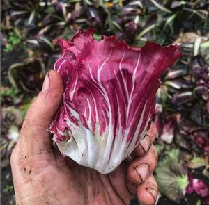 Radicchio, freshly picked